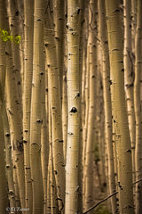 golden, sepia toned, grove of Aspens, trees,  delicate cluster of leaves, Pike National Forest, Colorado, captured treescape photograph, sundown, the right light, render quieting soft pastoral effect.