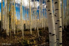 rich, golden aspens, last fall, leaves, landscapes, trees, blue skies, billowing clouds, mountain areas, Ouray, Colorado