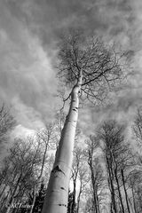 monochromes, trees, photographic renderings, endless groves of aspens, Colorado, treescapes, capture, photographed, Pike National Forest