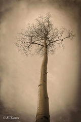 Soft, dreamy, expressionistic, photogenic Aspen, treescape, sepia toned, Lost Park Wilderness, Colorado, Pike National Forest
