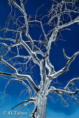 Treescapes, photograph, Colorado, blue bird morning, cyanotype tones, bold, abstract, monochromatic, captured, rendered on metallic paper, plexi glass
