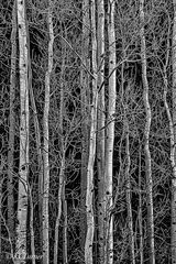 Colorado, Aspens, Lost Creek Wilderness, Pike National Forest, monochromatic, treescape