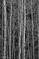 Colorado, monochrome, black and white, photograqph, silver, aspen trees