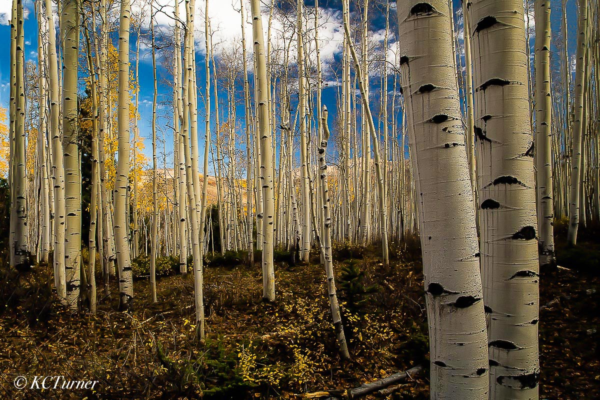 rich, golden aspens, last fall, leaves, landscapes, trees, blue skies, billowing clouds, mountain areas, Ouray, Colorado, photo