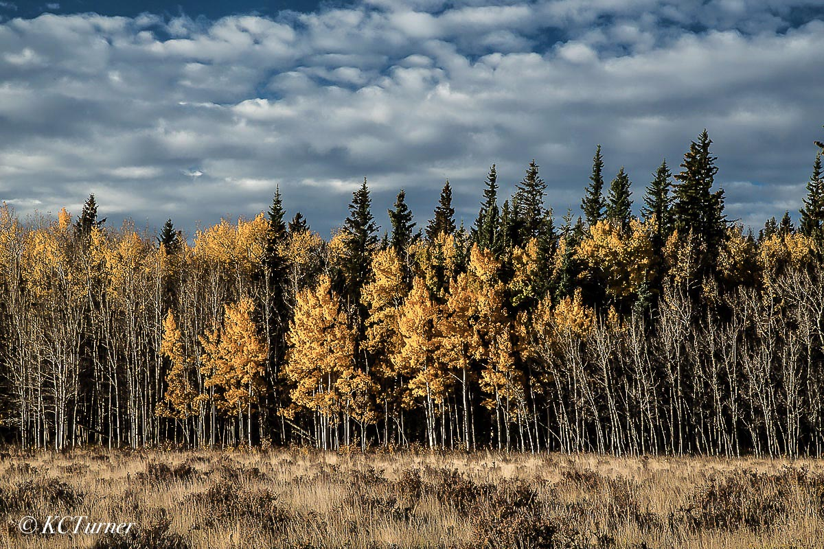 An endless wall of Aspen trees staged by nature behind an open meadow with a sweeping, picturesque, cloud filled horizon. This...