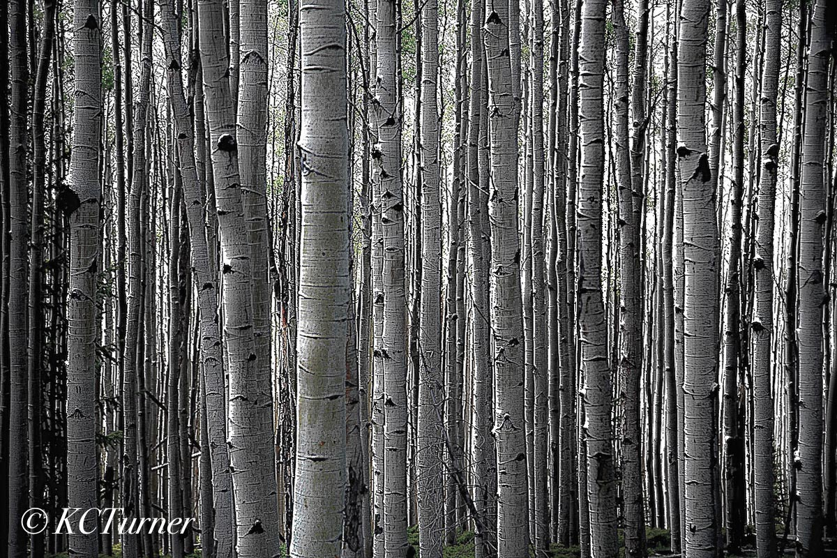 Aspen grove, treescape, formats, printing choices, color, monochrome, Colorado, fine art, landscape, photographic, photo