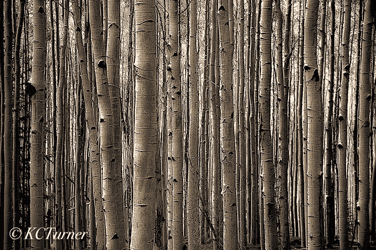 Colorado, County Road, CR 60, Pike National Forest, Aspens, groves, photographed, rendered, trees, sepia toned, photo
