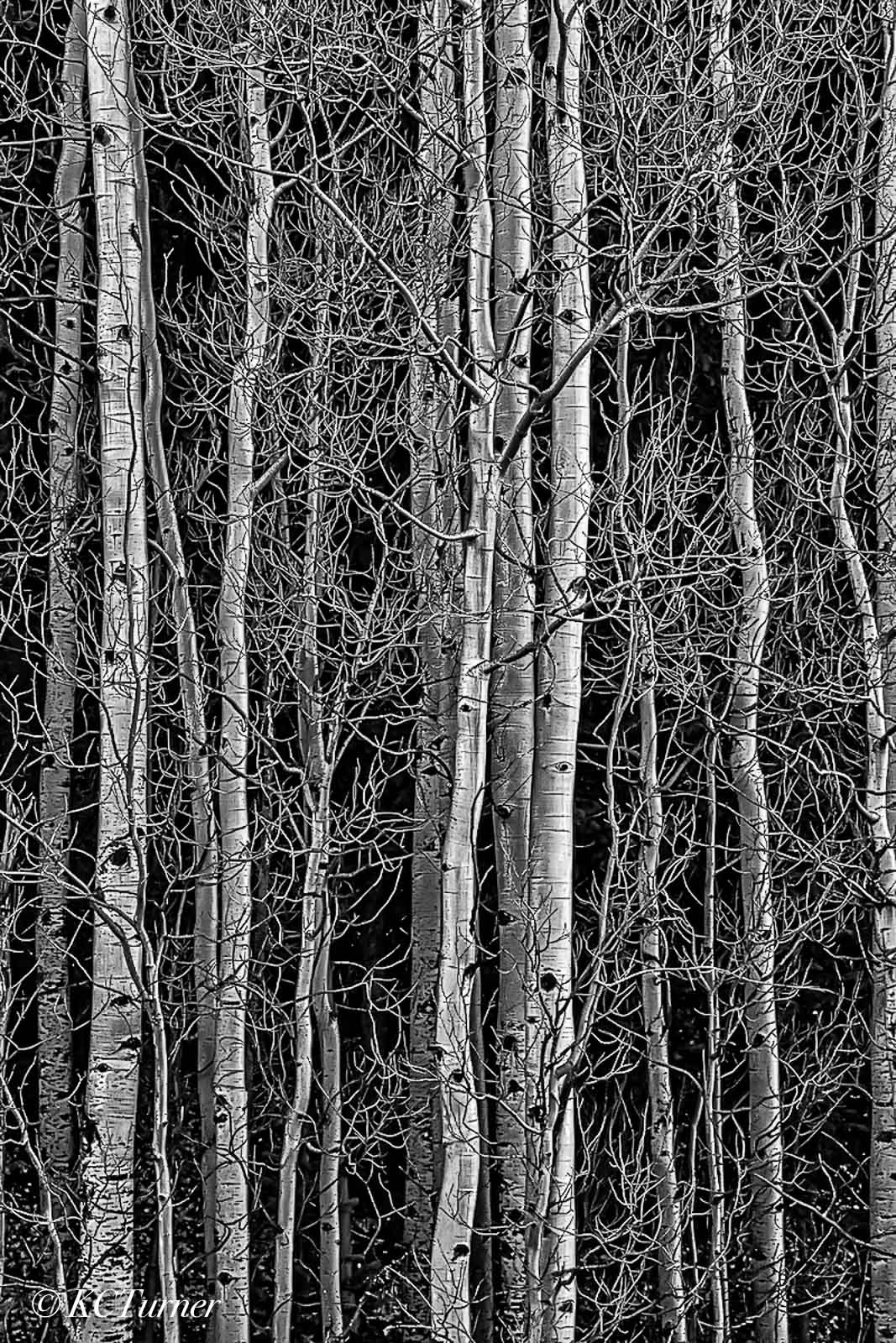 Colorado, monochrome, black and white, photograqph, silver, aspen trees, photo